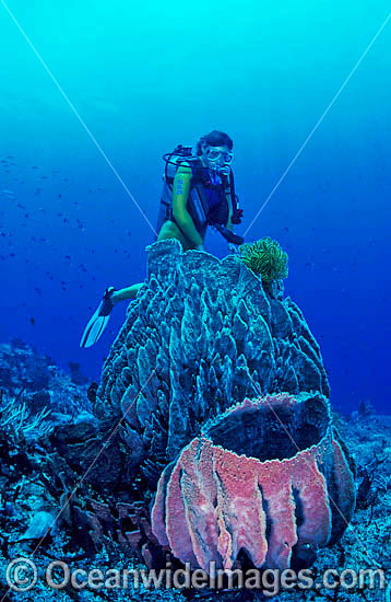 Scuba Diver with giant Barrel Sponges. Indo-Pacific Photo - Gary Bell