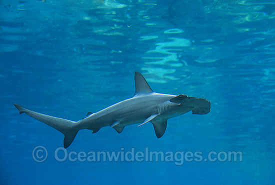 Scalloped Hammerhead Shark (Sphyrna lewini). Queensland, Australia. Found in tropical and warm temperate seas. Photo - Gary Bell