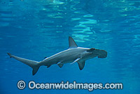 Scalloped Hammerhead Shark photo