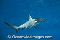Scalloped Hammerhead Shark Sphyrna lewini photo