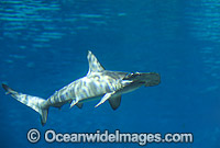 Scalloped Hammerhead Shark Photo - Gary Bell