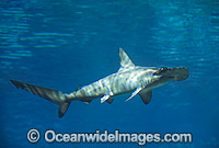 Scalloped Hammerhead Shark Sphyrna lewini Photo - Gary Bell