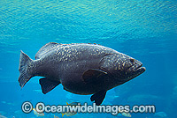 Queensland Groper Giant Grouper image