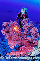 Scuba Diver with red Soft Coral photo