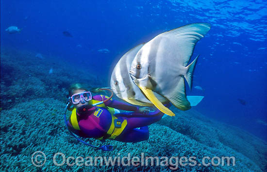 Scuba Diver with Round Batfish (Platax teira). Heron Island, Great Barrier Reef, Queensland, Australia Photo - Gary Bell