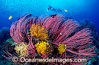 Scuba Diver with Whip Corals Photo - Gary Bell
