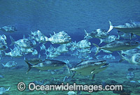 Yellow-tail Kingfish and schooling Snapper photo