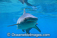 Tiger Shark Galeocerdo cuvier Photo - Gary Bell