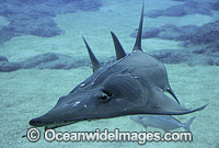 Rhynchobatus djiddensis White-spotted Guitarfish photo