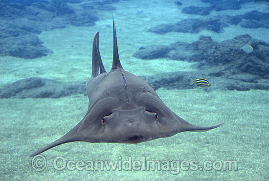 White-spotted Guitarfish (Rhynchobatus djiddensis). Also known as Giant Guitarfish, Sandshark, Whitespot Ray, Whitespot Shovelnose Ray, Sharkfin Ray and Shovelnose Shark. Found on Continental Shelf and tropical and warm temperate waters of Australia.