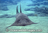 Rhynchobatus djiddensis Shovelnose Ray photo