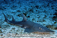 Giant Guitarfish photo