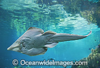 Giant Shovelnose Ray Rhinobatos typus Photo - Gary Bell