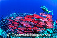 Scuba Diver with Pinjalo Snapper (Pinjalo lewisi). Indo-Pacific Photo: Gary Bell