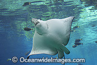 White-spotted Eagle Ray Aetobatus narinari Photo - Gary Bell