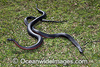 Red-bellied Black Snake two rivalling males