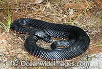Red-bellied Black Snake venomous snake Photo - Gary Bell