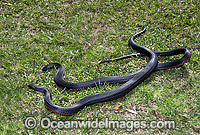 Red-bellied Black Snake Photo - Gary Bell