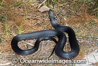 Red-bellied Black Snake Pseudechis porphyriacus Photo - Gary Bell
