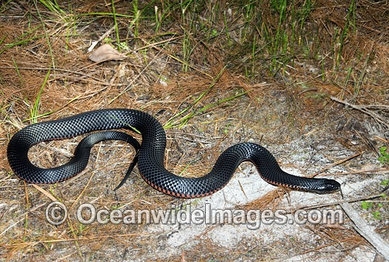 Red-bellied Black Snake (Pseudechis porphyriacus). Eastern Australia. Venomous snake. Photo - Gary Bell