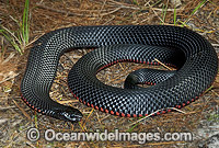 Red-bellied Black Snake venomous photo