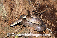 Children's Python Antaresia childreni