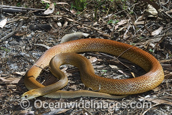 Coastal Taipan (Oxyuranus scutellatus). Eastern Queensland, Australia. Extremely venomous and dangerous snake. Can deliver muliple fatal bites in rapid succession. Photo - Gary Bell