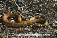 Coastal Taipan Oxyuranus scutellatus Photo - Gary Bell