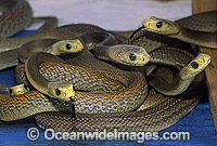 Coastal Taipan newborn hatchlings Photo - Gary Bell