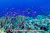 Scuba Diver on Coral reef photo