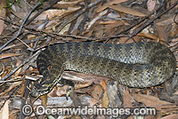 Death Adder Acanthophis antarcticus Photo - Gary Bell