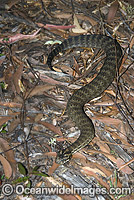 Common Death Adder Acanthophis antarcticus image