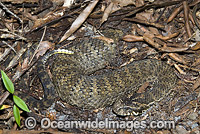 Death Adder buried in leaf litter