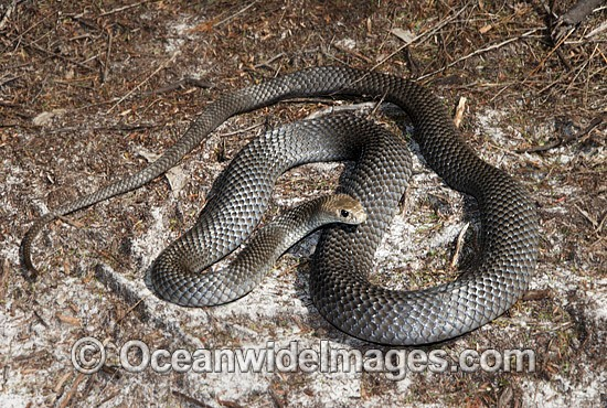 Eastern Brown Snake (Pseudonaja textilis). Found throughout eastern Australia, from Cape York Peninsula, along coastal & inland ranges of Qld, NSW, Vic N.T., W.A., S.A. and PNG. Extremely venomous species is considered the 2nd most dangerous land snake. Photo - Gary Bell