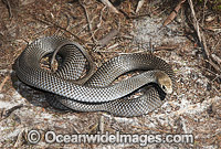 Eastern Brown Snake Pseudonaja textilis Photo - Gary Bell