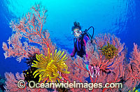 Scuba Diver with Gorgonian Fan Coral photo
