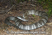 Mainland Tiger Snake Notechis scutatus photo