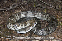 Tiger Snake Notechis scutatus photo