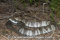 Mainland Tiger Snake photo