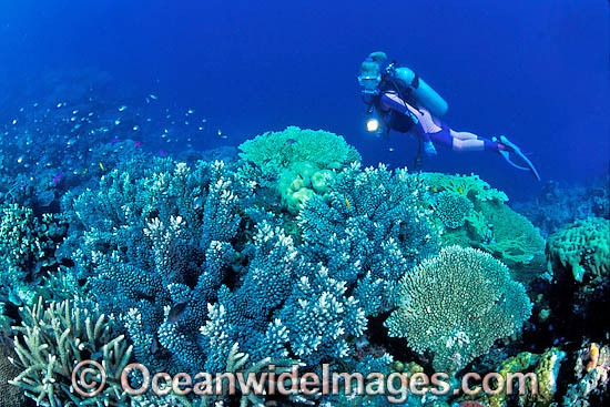 Scuba Diver exploring Acropora Coral reef. Great Barrier Reef, Queensland, Australia Photo - Gary Bell