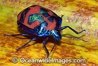 Harlequin Bug Photo - Gary Bell