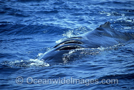 Humpback Whale (Megaptera novaeangliae) - with propellor wounds on back, inflicted by large ocean-going vessel. Queensland, Australia. Classified as Vulnerable on the 2000 IUCN Red List. Photo - Mark Simmons