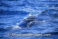 Humpback Whale with propellor wounds on back stock photo