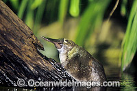 Duck-billed Platypus Ornithorhynchus anatinus Photo - Gary Bell