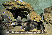 Crested Horn Shark Heterodontus galeatus Photo - Gary Bell