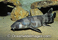 Grey Carpet Shark Chiloscyllium punctatum Photo - Gary Bell