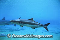 Black Kingfish Rachycentron canadum Photo - Gary Bell