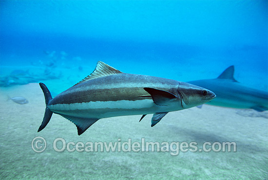 Cobia (Rachycentron canadum). Also known as Black Kingfish. Found in warm-temperate to tropical waters of West and East Atlantic, Caribbean and Indo-Pacific, including Australia and Japan.
