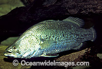 Estuarine Barramundi Lates calcarifer Photo - Gary Bell