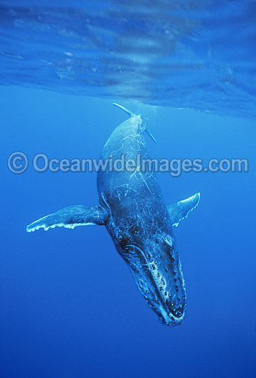 Humpback Whale (Megaptera novaeangliae) - calf underwater. Found throughout the world's oceans in both tropical and polar areas, depending on the season. Classified Vulnerable on the 2000 IUCN Red List.